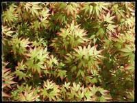 Japanese Maple Chi Chi by Giorgetta Bell McRee