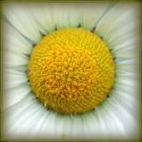 Macro Daisy by Giorgetta Bell McRee