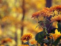 yellow mums in the Fall