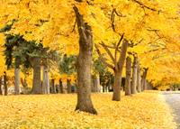 Yellow Autumn Trees Wonderland