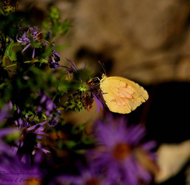 Yellow Sulphur on Purple