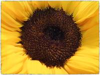 Eye of the Sunflower by Giorgetta Bell McRee