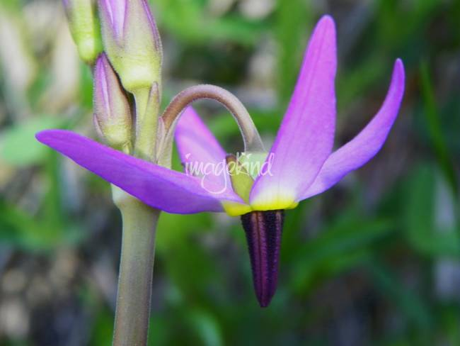 Tall Mountain Shooting Star Dodecatheon jeffreyi