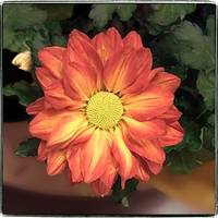 Orange Daisy Mum by Giorgetta Bell McRee