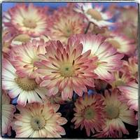 Pink Daisy Mums by Giorgetta Bell McRee