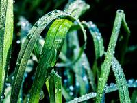 Dew Soaked Grass