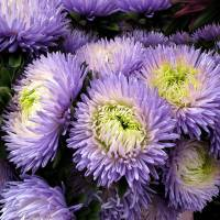 Chrysanthemum...Passion by Patricia Schnepf