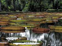 Giant Waterlily Pond