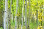 "Aspen Tree Forest Autumn Time by James ""BO"" Insogna"