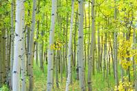 Aspen Tree Forest Autumn Time