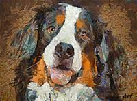 Bernese mountain dog- Bimbo