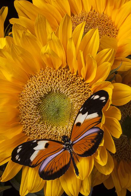 Pretty butterfly on sunflowers