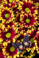 Butterfly on yellow red daises