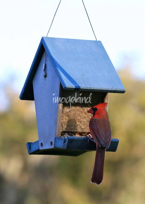 Sweet Cardinal at My Feeder