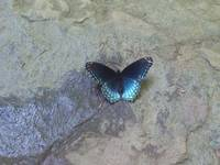 Butterfly-Red Spotted Purple