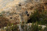 Pika on the rock