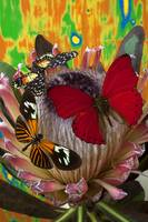 Three butterflies on protea