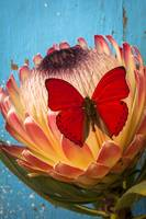 Red butterfly on Protea