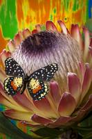 Protea with speckled butterfly