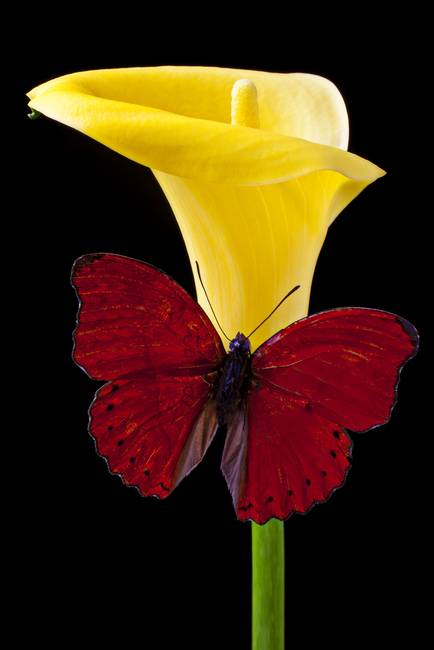 Red Butterfly and Calla Lily
