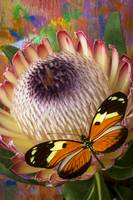 Butterfly with large protea