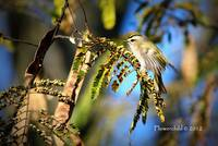 Golden Crowned Kinglet - In Motion