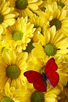 Red butterfly on yellow mums