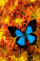 Blue butterfly on mums