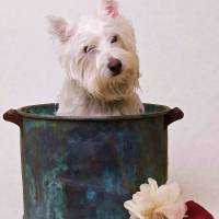 Westie Bath Time Dog Art Prints & Posters by Edward Fielding