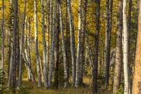 _MG_0110.Aspen Trees in the Fall
