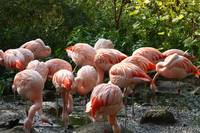 Busy Chilean flamingos