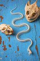Snake skeleton and animal skulls