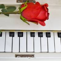 White Piano and Red Rose Art Prints & Posters by Amanda Covey