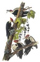 Pileated Woodpecker Bird Audubon Print