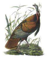 Wild Turkey Bird Audubon Print