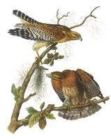 Red-Shouldered Hawk Audubon Print