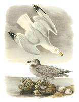 Herring Gull Bird Audubon Print