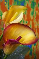 Yellow red calla lilies