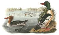 Common Merganser Bird Audubon Print