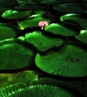Lilly Pads-Belem,South America by Joe Gemignani