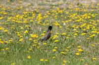 American Robin in a Field of Dandelions