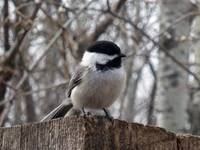 Black Capped Chickadee on a Fence