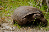 Gopher Tortoise Eats Lunch