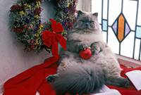 Persian cat with Christmas ball