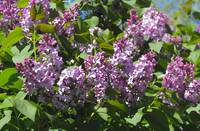 Abstract Lilacs
