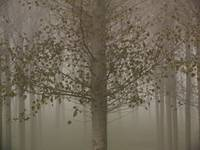 Poplars in the mist