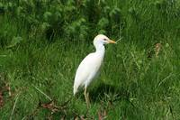 Cattle Egret with Brown Head Feathers