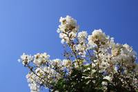 White Flower Blue Sky
