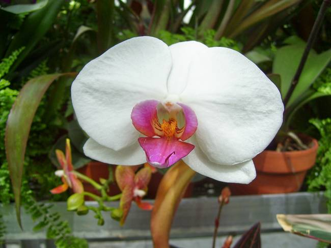 White Orchid with Pink Center by Mary Upton