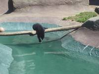 Just Hangin, Black Bear Cub